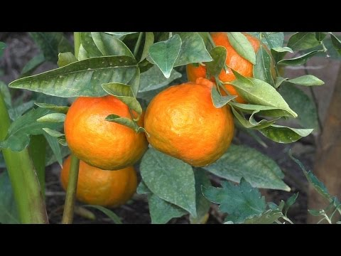 How to Grow Dancy Mandarin Tangerines