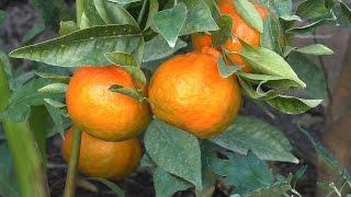 How to Grow Dancy Mandarin Tangerines