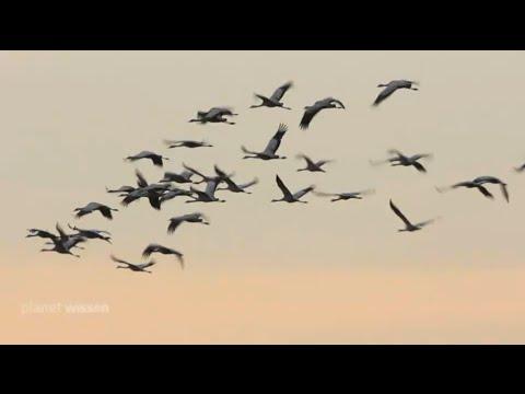 Planet Wissen - Vogelzüge