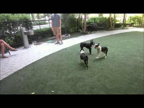Rudy, The Boston Terrier, Attends An Unplanned Boston Terrier Meetup