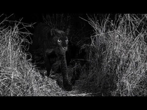 Rare Black Panther Spotted In Wild Mp3