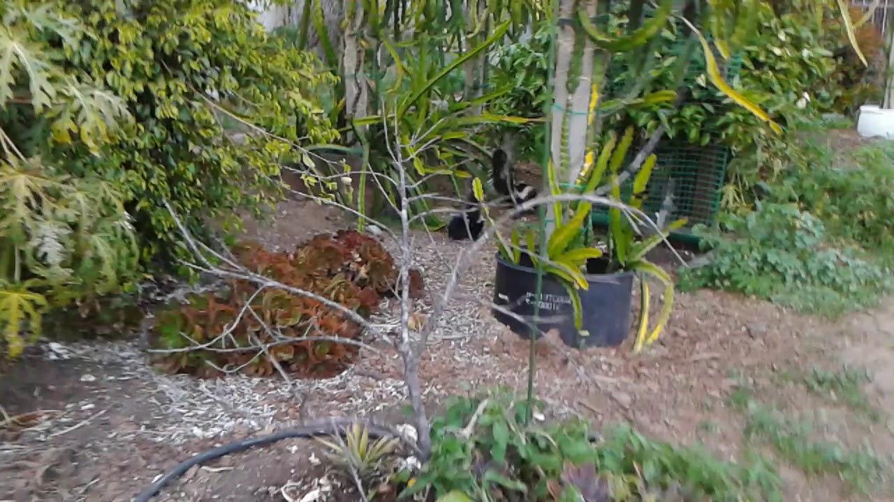 Dragon fruit backyard visitors (part 2) - YouTube