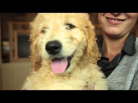 meet-the-puppies:-labrador-retriever-&-goldendoodle