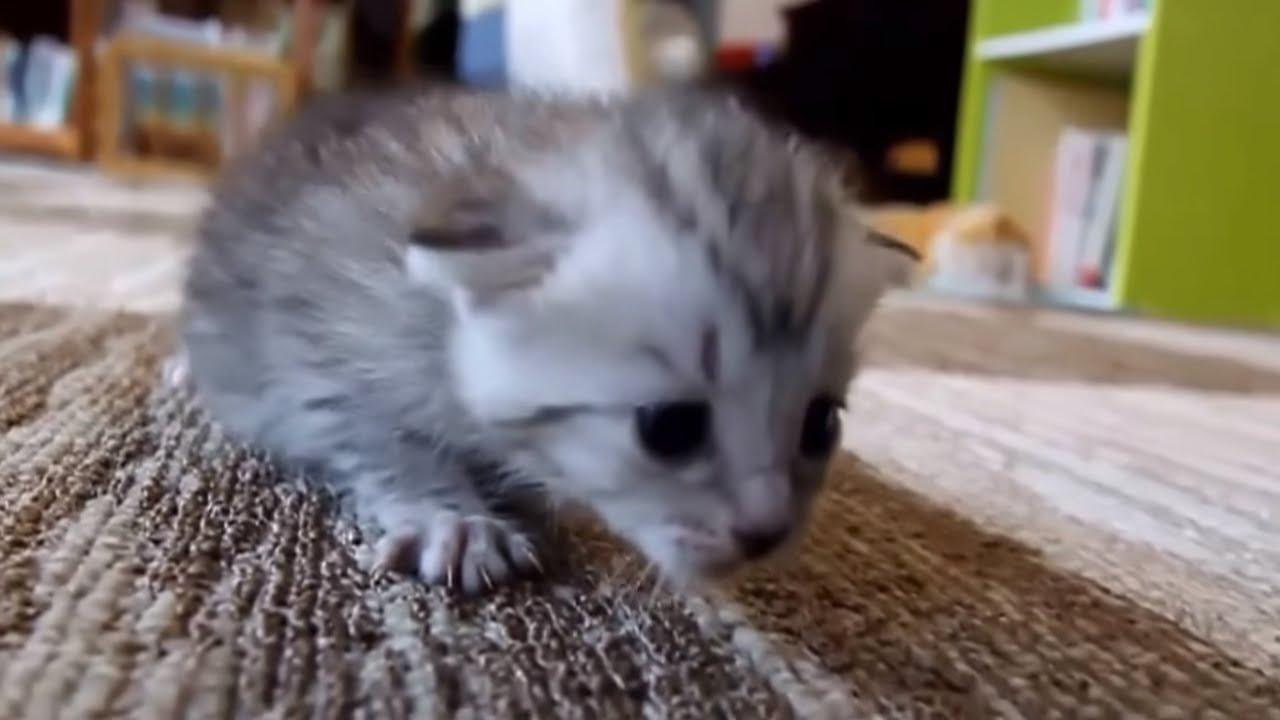 recipe for kitten formula
