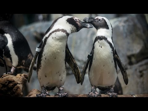 Live African Penguins in HD - Monterey Bay Aquarium