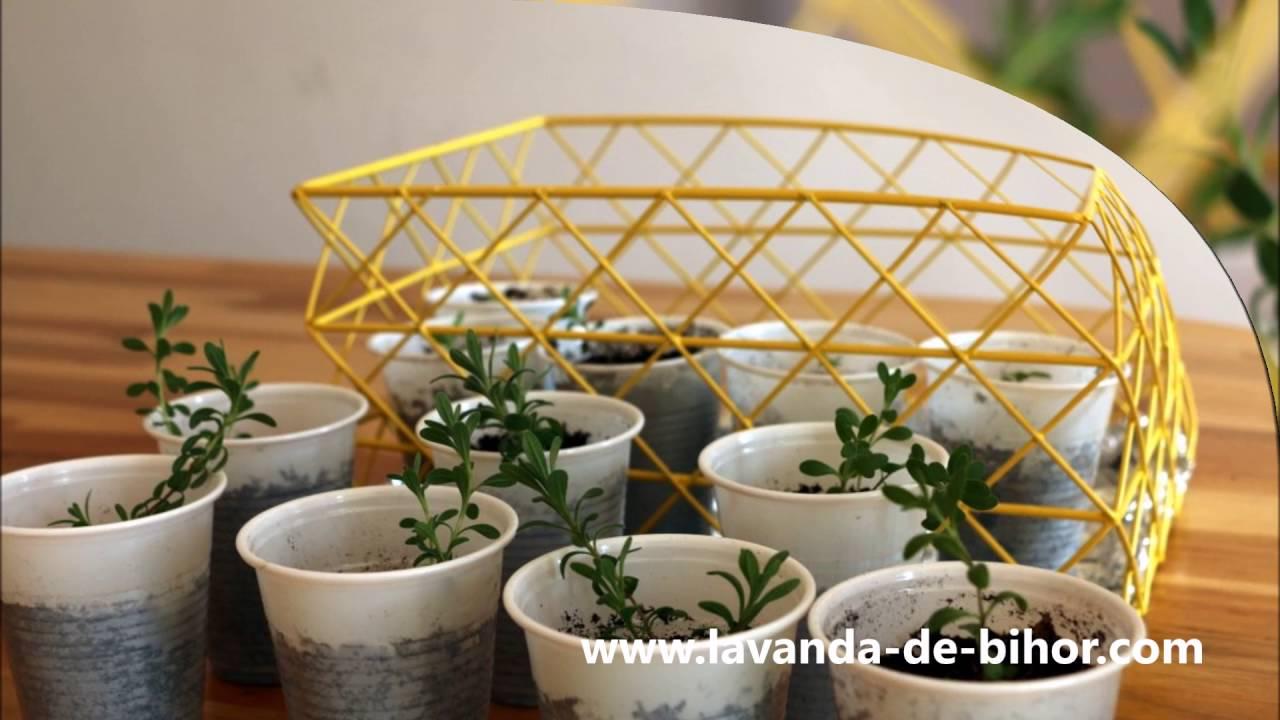 Experimente cu seminte de lavanda Angustifolia soiul Rapido
