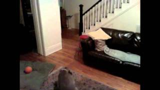 Weimaraner, Basil, Home Alone - Nanny Cam For Our Dog