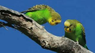 Repeat youtube video From the best selling album 'Happy Budgies'