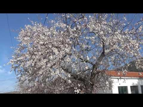 Açoreira, 22 Fevereiro 2019. - Postal . Amendoeiras em Flor.
