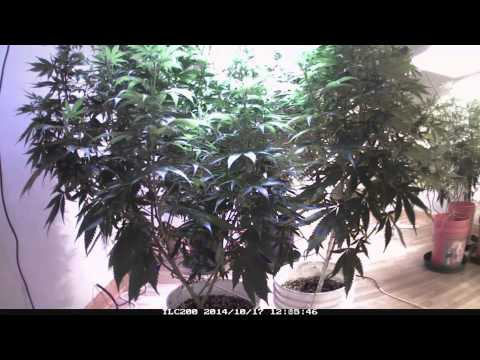 4X The Yield of HPS!!!  500W LED vs 1200W HPS Grow-Off by Cannabis Training University