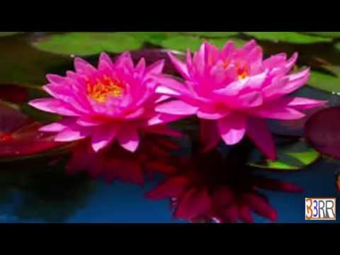 National Flower  Water Lily