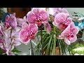 Уход за орхидеями /как это делаю я/ секреты (Katya Ru)