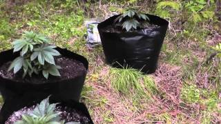 Outdoor Guerilla Grow 2013 Part 1