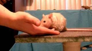 Rattie Training Video: Clicker Training