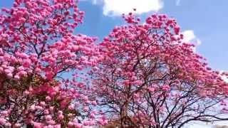 O ipê rosa Tabebuia heptaphylla é uma árvore brasileira