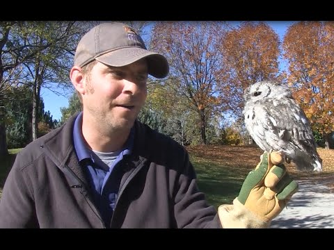 Meet Scout the Eastern Screech Owl