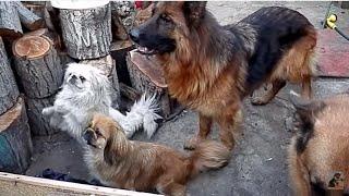 СОБАКИ - ПОПРОШАЙКИ. DOG - a beggar.Немецкие овчарки и пекинесы. Odessa.
