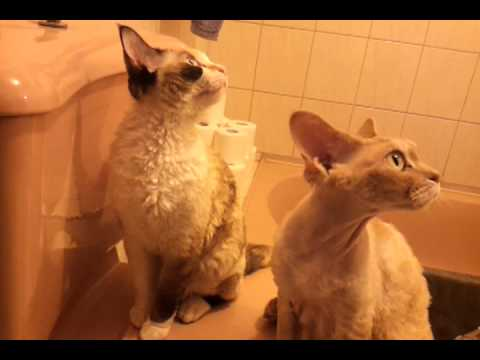 devon rex girls fly talking