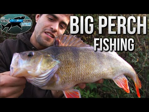 Big Perch Fishing | TAFishing
