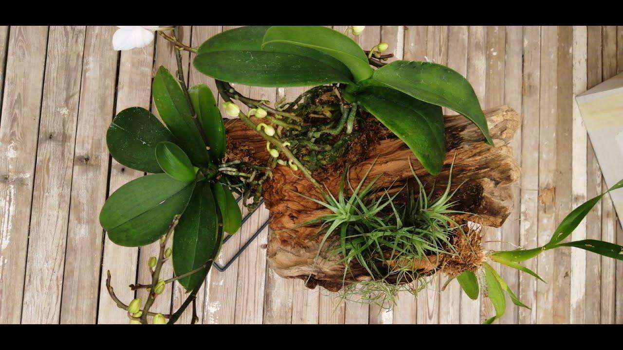 Download Come coltivare un'orchidea su un tronco di legno in 5 passi...