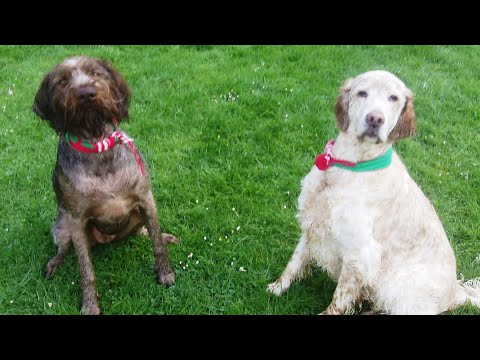 English Setter Otis fooling around and losing weight with German Wirehaired Pointer Suggs.