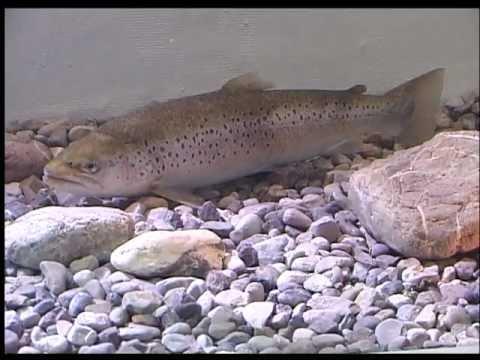 LFV, Fische Und Fischerei, Teil 1, Salmoniden (VTS_01_1)