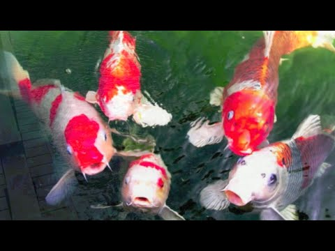 yourkoishouse# ระบบกรองบ่อปลาคาร์ฟ, บ่อกรอง #บ่อปลาคาร์ฟ