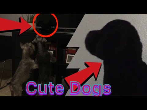 #MiniSchnauzer #Sherlock wants my #stuffedanimal #dog #cutedogs #cuteanimals  |Daily Dose Of Dallas