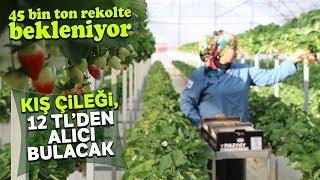 Antalya'da Sıcak Hava Sebebiyle Çilekte Erken Hasat