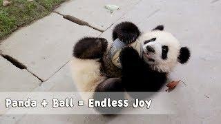 だってボールは友だちだもの!ボールを愛する子パンダたちがコロコロ可愛い過ぎる動画
