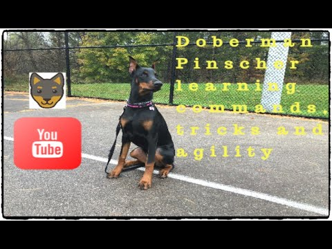Doberman Pinscher learning tricks, commands and agility