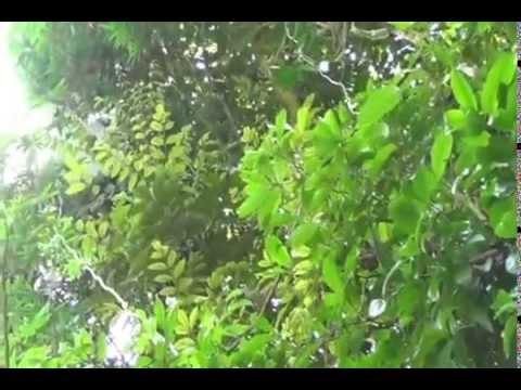 Bán mật ong rừng nguyên chất tại Quảng Nam Đà Nẵng - Video lấy mật 6