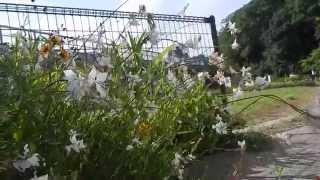 2014年7月8日 横須賀市/三浦半島/神奈川県 http://www.azami.saku...