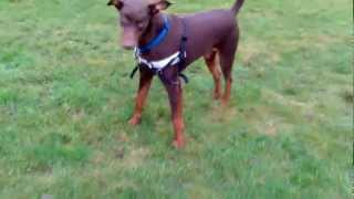 Doberman Gait, Signs Of Cruciate Ligament Disease And Hip Dysplasia.