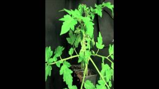 Phytophthora capsici infects tomato plants