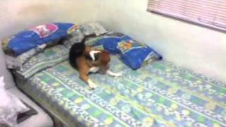 Beagle Hates The Smell Of Cologne