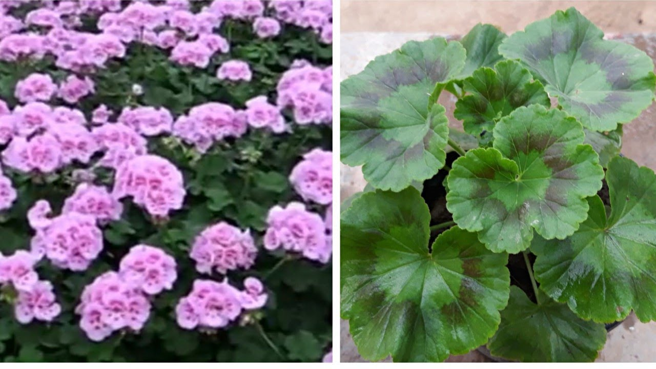 How To Care Geranium Flower Plant Hindi Youtube