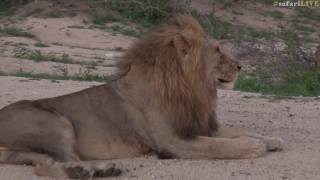 Chameleon hitches ride on mane of a lion thumbnail