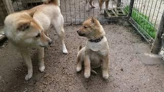 山陰柴犬モモと甥っ子フクの戦いは水入り!