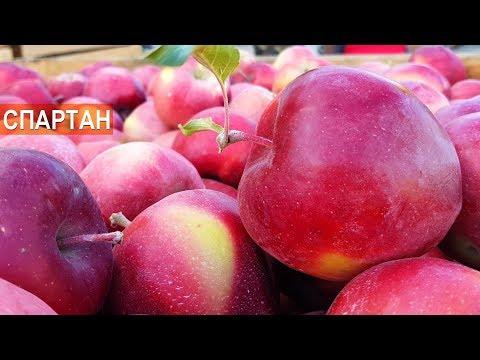 ПОЧЕМУ СЕЙЧАС НЕ ВЫРАЩИВАЮТ очень вкусный и сочный старый сорт зимних яблок СПАРТАН | колоновидные | спартан | деревья | яблоня | яблонь | яблони | яблоки | лучшие | зимние | яблок