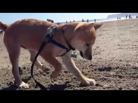 Gucci the Shiba inu digging