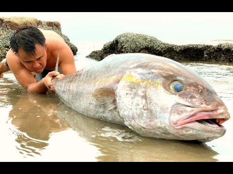 Survival skills to catch the giant fish trapped in the sand by hand | Catch fish big 40kg by hand