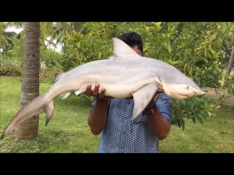 Thumbnail: Cooking a 40 Pound Shark in My Village - Cooking a Shark in the Traditional Way