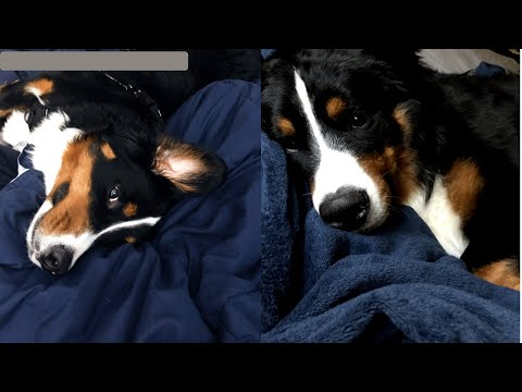 Life With A Bernese Mountain Dog | Part One