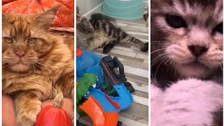 The CUTEST moments with MAINE COON cats (Top 20 TikTok)