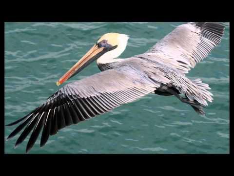 V Of Pelicans