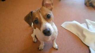 Jack Russell Luna Talking To Me