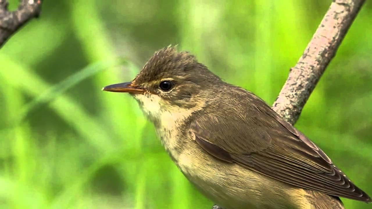 Звуки Природы. Пение птиц - Болотная Камышовка - Звуки птиц.