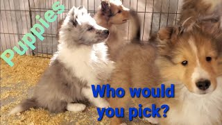Puppies, 8 weeks old Shelties!  Which would you pick?