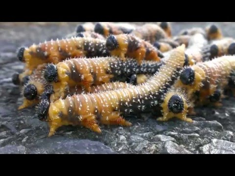 Sawfly larvae travel in groups!